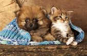 stock photo of muse  - Spitz puppy and kitten breeds Maine Coon - JPG