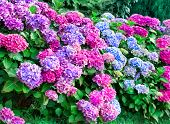 Colorful hydrangea bushes,outdoors