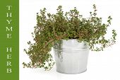 Thyme herb in an old aluminium pot over white background with text title description on green. Thymu