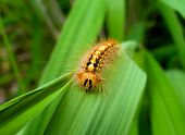 Caterpillar Of Gypsy Moth