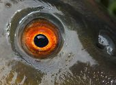 Fish eye (The Tench - Tinca Tinca) close up.