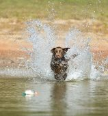 A Chocolate Labrador jumps into a lake as he trains to retrieve decoys