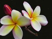 Plumeria Beauty