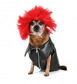 ein Chihuahua, gekleidet in eine Perücke