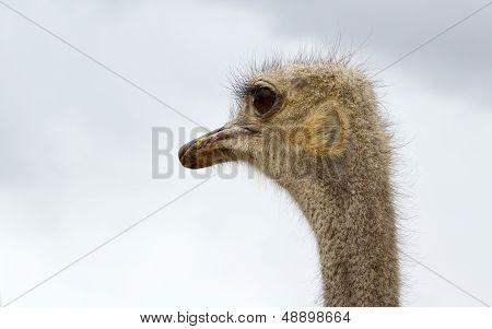 Australian Ostrich poster
