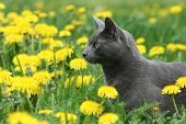 Cat In Dandelions