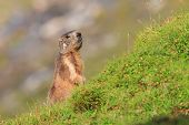 Marmot in the pastures of Fagaras Mountains,Romania