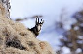 Carpathian Chamois in Bucegi Mountains Natural Park
