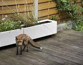 Fox in a residential garden