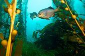 Fish in Kelp