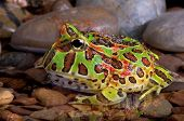 Ornate Frog In Pool
