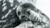 baby seal in Antarctica. close up portrait