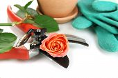 Garden secateurs and rose isolated on white