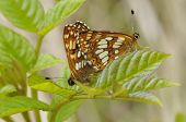 picture of duke  - Duke Of Burgundy Butterflies - Hamearis lucina