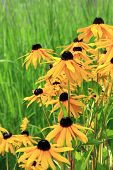 Black eyed susan flowers blooming against an ornamental grass background.