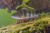 stock photo of freshwater fish  - Big perch on the tree background  - JPG