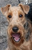 Portrait Of Airedale. Dog Show.
