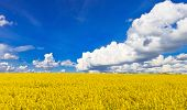 stock photo of biodiesel  - Yellow rape field blossom - JPG