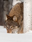 Grey Wolf (Canis lupus) Sniffs In Snow