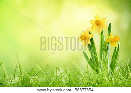 Daffodil flowers on spring background poster