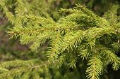 stock photo of fir  - A background of a young green fir tree - JPG