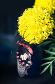 Common Rose Butterfly Hanging On Marigold Flower