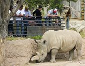 A Rhinoceros At The Reid Park Zoo