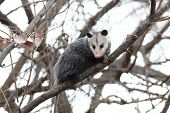 Opossum In A Tree