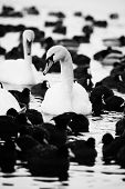 White Swans On A Lake, Around Many Coots.