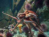 picture of octopus  - Giant Pacific octopus  - JPG