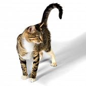 Young Brown Tabby Kitten Cat isolated on White Background