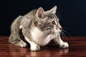 Young Silver Tabby Kitten Cat Looking