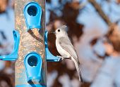 Baeolophus bicolor, Tufted Titmouse sitting at a bird feeder in winter