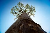 stock photo of baobab  - Baobab tree with green leaves on blue clear sky background - JPG