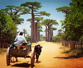 foto of baobab  - Zebu cart on a dry road leading through baobab alley - JPG