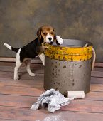 Seven weeks old adorable little beagle puppy exploring a garbage can