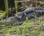 Young Alligators Basking In The Sunlight