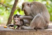 Família macaco