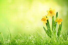 picture of daffodils  - Daffodil flowers on spring background - JPG