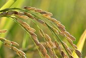 Golden ripe rice in paddy field