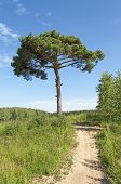 Footpath And A Lone Pine Tree