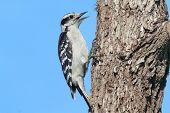 image of woodpecker  - Downy Woodpecker  - JPG
