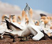 Cape Gannet