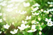 Fresh White Flowers In Sunlight