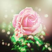 Nature Background With Rose Flower