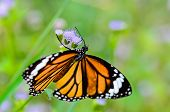 Close Up Common Tiger Or Danaus Genutia Butterfly
