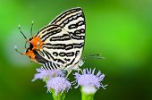 Club Silverline Or Spindasis Syama Terana, White Butterfly Eating Nectar On The Flowers
