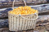 Basket of chanterelles on log background