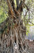 beautiful tree with Buddha's head