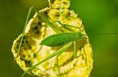 Speckled Bush Cricket  ( Leptophyes Punctatissima )
